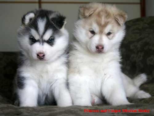huskies2.jpeg